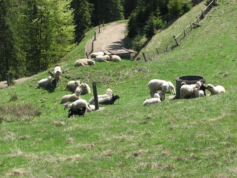 Uratowana czerna owieczka